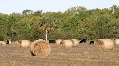 cattle and hay bales