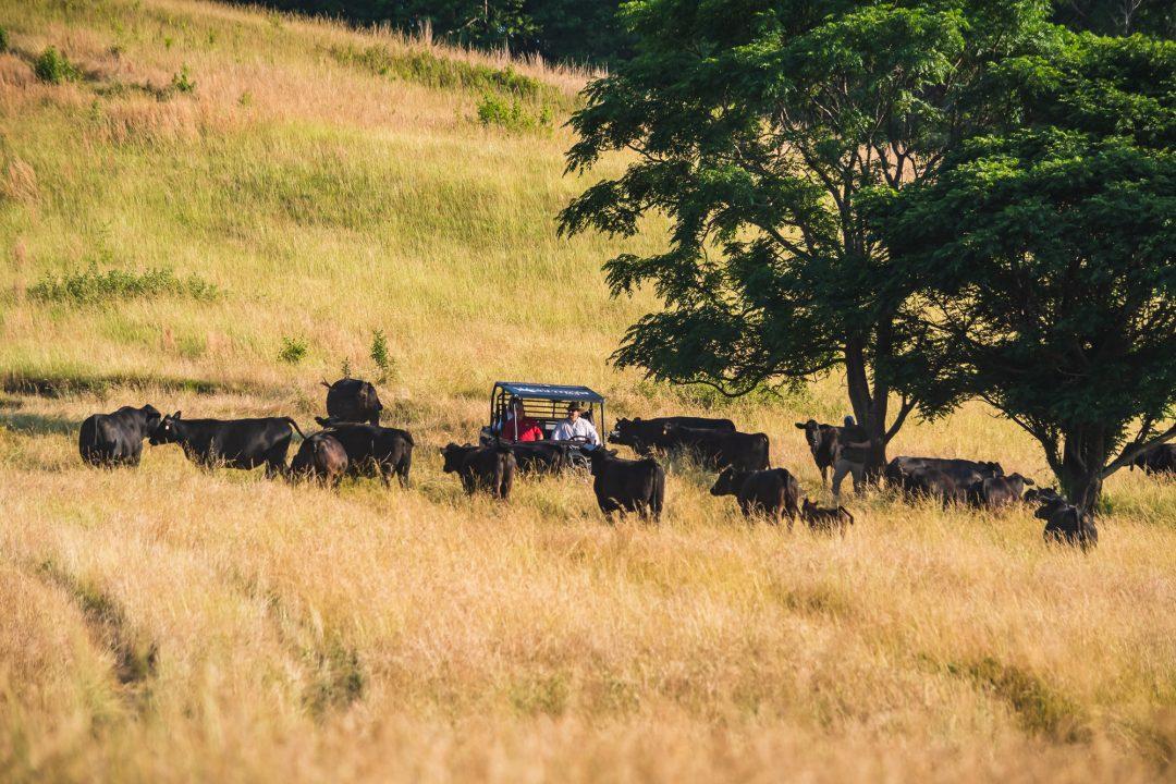 Social Storm Properties Cattle